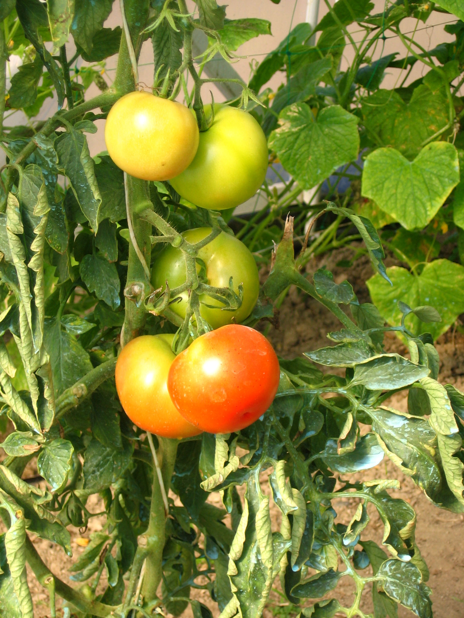 How To Grow Heirloom Tomatoes – 40 Experts Their Top Tomato
